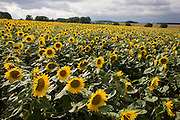 Sunflowers flourishing on land near Civray-sur-Esves, Indre-et-Loire region, France. Sunflower plants are cultivated in Sunflower farms for their seeds. Refined Sunflower-seed oil is edible, sunflowers have 39 to 49% oil in the seed. Sunflower seed accounts for about 14% of the world production of seed oils (6.9 million metric tons in 1985-86) and about 7% of the oilcake and meal produced from oilseeds. Sunflower oil is generally considered a premium oil because of its light color, high level of unsaturated fatty acids and lack of linolenic acid, bland flavor and high smoke points.