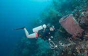 A young woman scuba diver examines a pink Giant Barrel sponge along the coral reef of Raja Ampat, Indonesia.