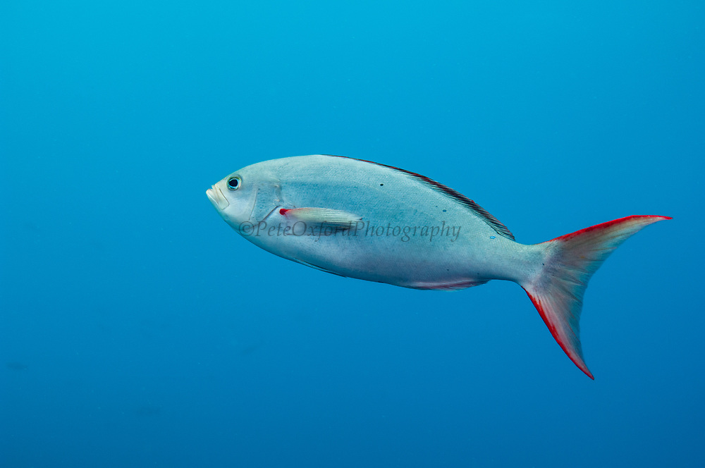Creole Fish or Gringo (Paranthias colonus)<br /> Central Isles<br /> GALAPAGOS ISLANDS<br /> ECUADOR.  South America<br /> These are the most abundant fish in the entire archipelago.<br /> RANGE & HABITAT: During the day they form huge feeding aggregations in open water above reefs, rocky, boulder strewn slopes and along walls. Juveniles and intermediates stay nearer the bottom.