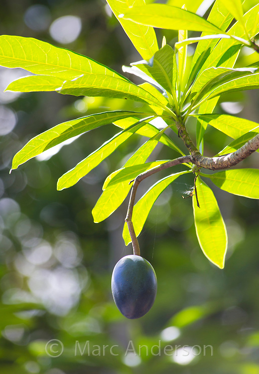 Blue fruit of the Cassowary Plum (Cerbera floribunda), Daintree region, Queensland, Australia
