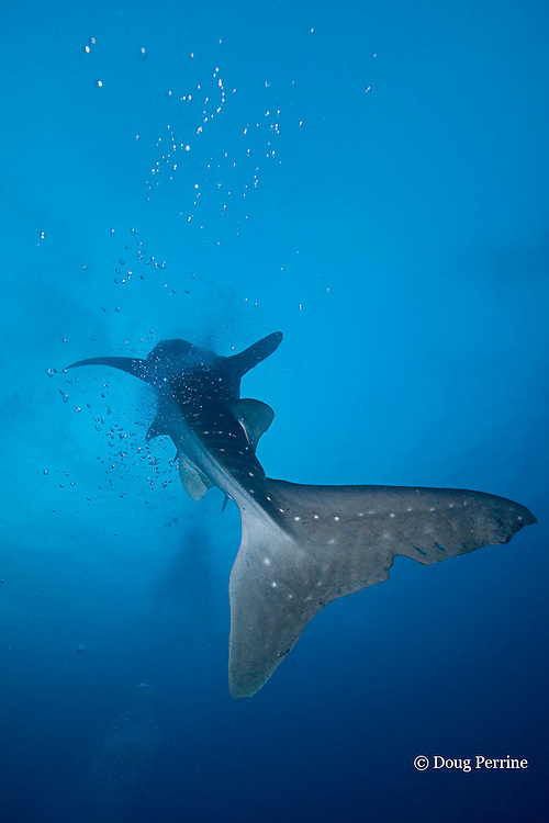 whale shark, Rhincodon typus, ascends through divers' bubbles, possibly mistaking the bubbles for fish spawn<br /> Gladden Spit & Silk Cayes Marine Reserve, off Placencia, <br /> Belize, Central America ( Caribbean Sea )