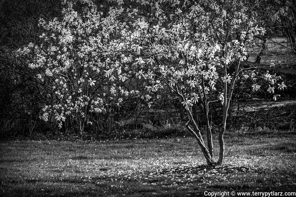Beautiful Magnolia Tree found in LEAF Arboretum - Erie, PA.