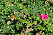 Sylt, Germany. Wenningstedt-Braderup. Sylter Rose.