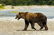 USA, Katmai National Park (AK).Brown bear (Ursus arctos) with salmon in its mouth