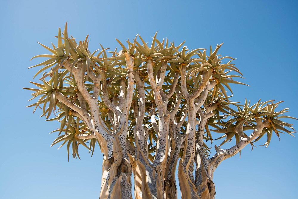 Aloe dichotoma ( quiver tree or kokerboom) in the Namibia Desert