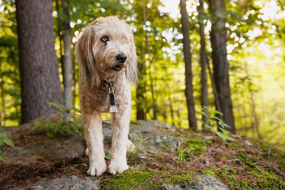 Fluffy mutt standing on a rock in the woods