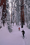 Sequoia grove, Sequoia tree, Giant Sequoia, Cross Country Skiing, Cross county skier, Winter, Sequoia and Kings Canyon National Park, California, Sequoia