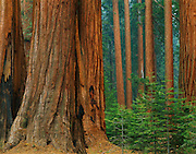 Giant Sequoia trees, Giant Forest, Sequoia National Park, California
