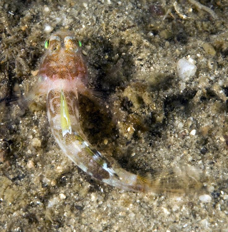 Diminutive Goby (Lebetus scorpioides) male.  Location: Norway