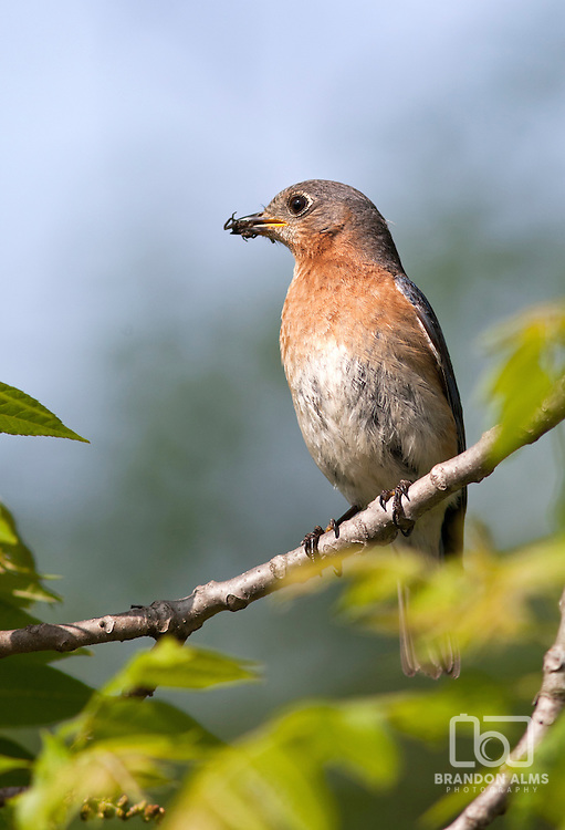 A closeup shot of a female Eastern Bluebird (Sialia sialis) with a spider in its mouth.