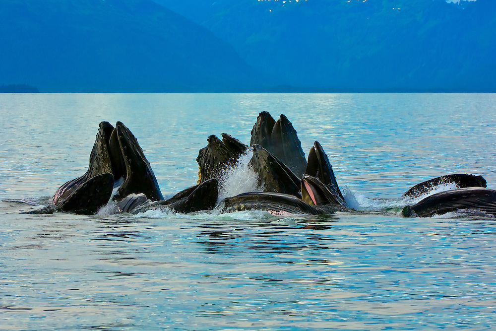 Humpback whales bubble net feeding in the waters off Pinta Point, Frederick Sound, Inside Passage, Southeast Alaska
