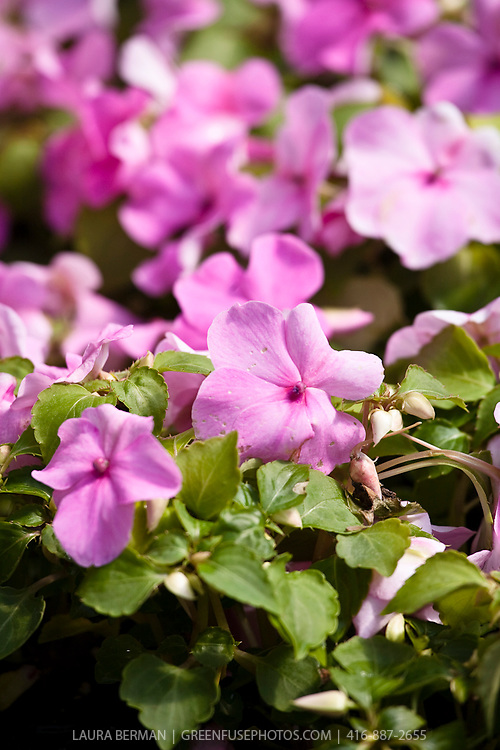 Impatiens wallerana also known as Busy Lizzy, Balsam or simply Impatiens, is an annual bedding plant that does well in shade conditions.