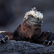 A marine iguana emerged from it's overnight resting place to warm up in the morning sun on Isabela Isaland near Puerto Villamil, Galapagos on 6/21/09.