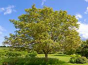 Walnut tree, Juglans regia, goring in English country garden, Wiltshire, England, UK