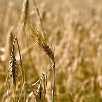 Barley, an important cereal grain (Hordeum vulgare)