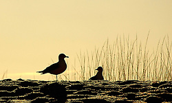 Two Gulls in Profile with a Golden Sky