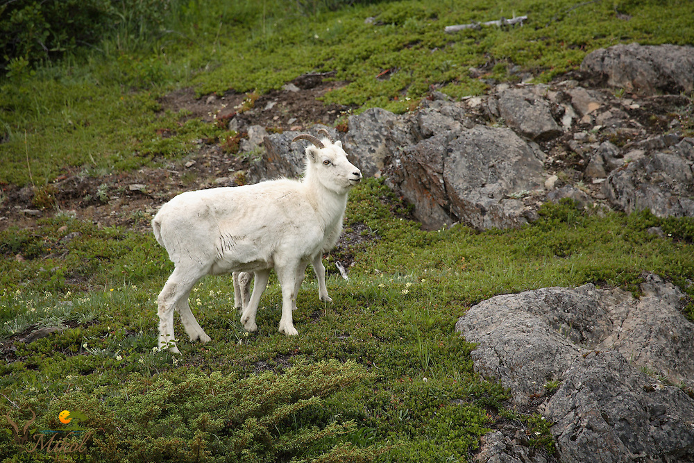 Dall sheep ewe protecting lamb
