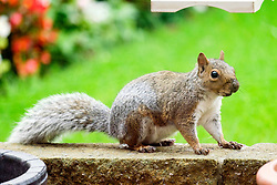A Grey Squirrel (Scientific name Sciurus Carolinensison) makes its way along a garden wall in a British Suburban Garden<br />