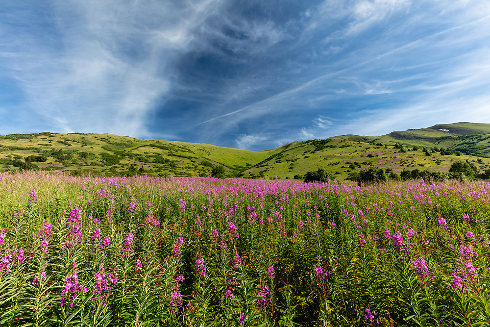 Field of Fireweed (Epilobium angustifolium) in Chugach National Forest along Palmer Creek Valley in Southcentral Alaska. Summer. Morning.