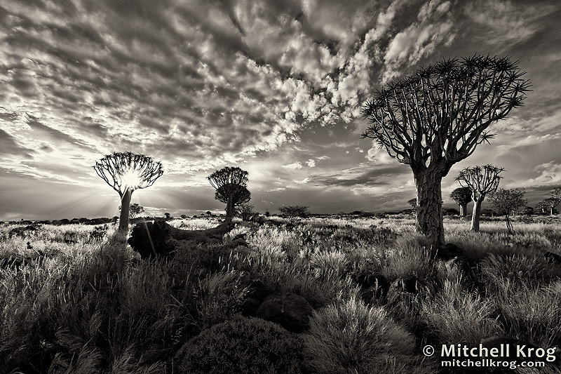 Landscape photo in black and white of the quiver tree forest in namibia at sunset