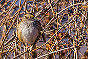 White-throated Sparrow - Zonotrichia albicollis sitting on a branch with its feathers puffed up