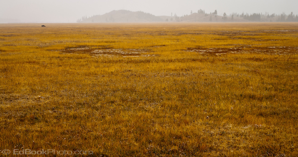 A lone buffalo rests in an autumn colored meadow with fog enchroaching over low hills in the distance, Yellowstone National Park, Wyoming, USA