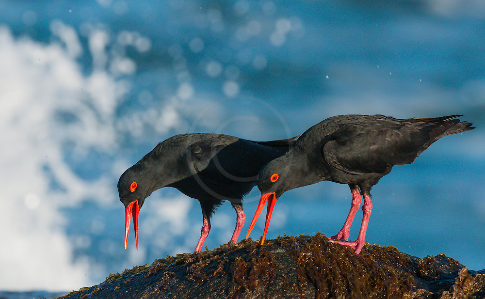 African Black Oystercatcher territorial pair calling, De Hoop Natue Reserve, Western Cape, SOuth Africa