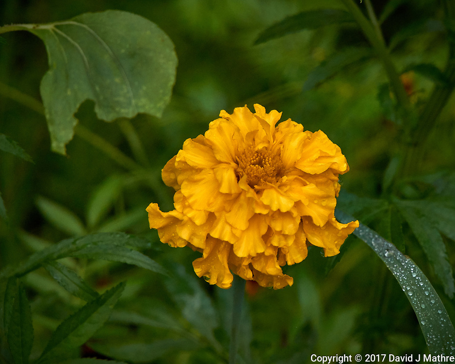 Yellow wildflower after the rain. Backyard summer nature in New Jersey. Image taken with a Leica T camera and 55-135 mm lens (ISO 640, 135 mm, f/5.6, 1/400 sec).