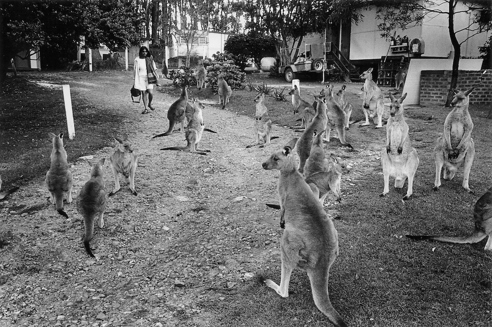 """""""Kangaroo Harvesting In Australia""""..Kangaroos are protected and acumulate in large numbers in the National Park on Depot Beach. Situated on the south coast of NSW  the park is one of many  National Parks where shooting kangaroos is prohibited. The kangaroos are attracted by food given to them by people on holiday in the debot beach caravan park."""