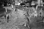 """Kangaroo Harvesting In Australia""..Kangaroos are protected and acumulate in large numbers in the National Park on Depot Beach. Situated on the south coast of NSW  the park is one of many  National Parks where shooting kangaroos is prohibited. The kangaroos are attracted by food given to them by people on holiday in the debot beach caravan park."