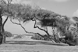 Wind swept trees along the Atlantic coast, Barbados<br />