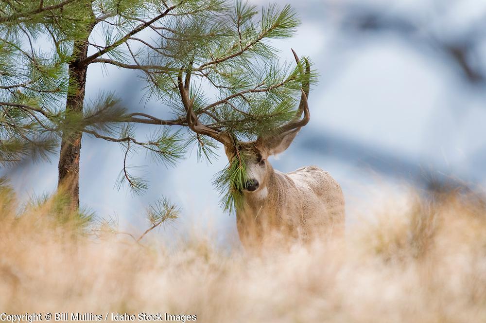 Mule deer (Odocoileus hemionus) buck in rut rubbing antlers on ponderosa pine on Wildhorse Island in Flathead Lake MT