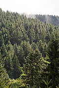 Nadelwald mit Nebel, Thüringer Wald, Thüringen, Deutschland | Thuringia forest, Thuringia, Germany