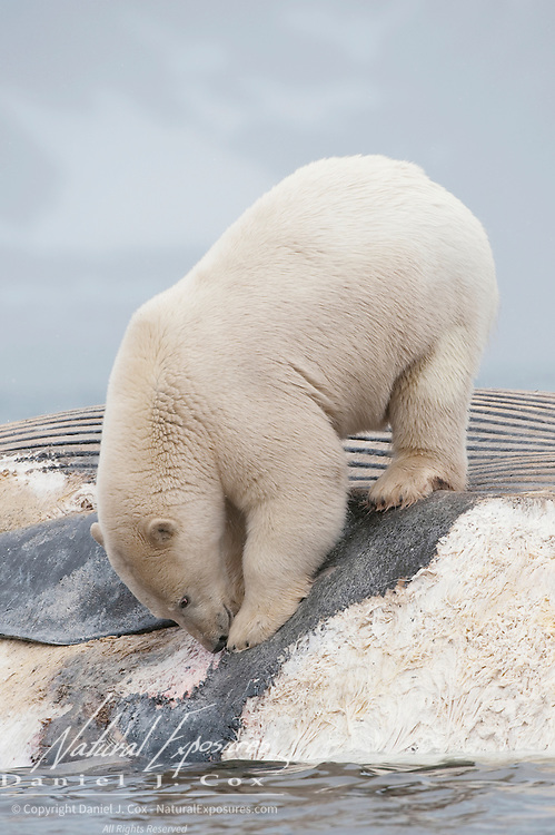Polar bear feeding on the carcass of a Fin Whale. Svalbard, Norway