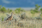 Marbled godwit on the Great Plains of Montana. Charles M. Russell National Wildlife Refuge in the American Prairie region south of Malta in Phillips County, Montana.