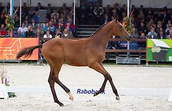 05 - Guiness<br /> KWPN Paardendagen 2011 - Ermelo 2011<br /> © Dirk Caremans