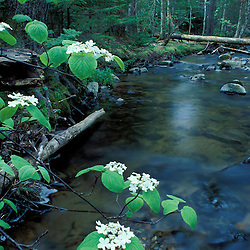 Acadia N.P., ME. Streams. Stanley Brook. Hobblebush.