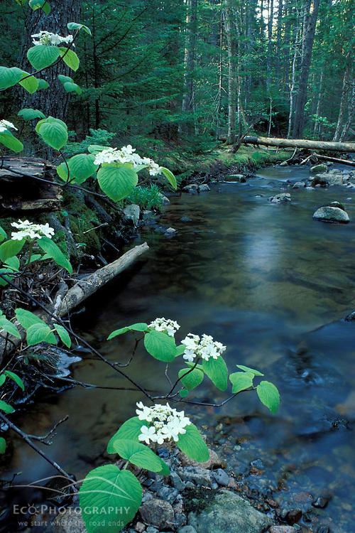 Acadia N.P., ME. Streams. Stanley Brook. Hobblebush.