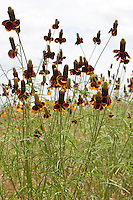 Mexican Hat (Ratibida columnifera), Bastrop County, Texas