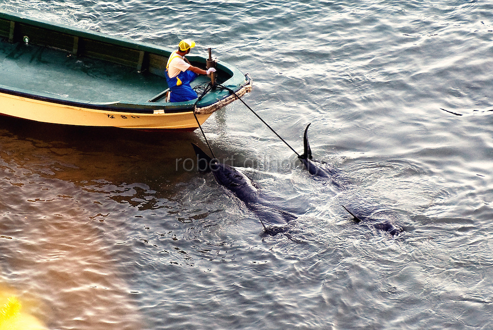 """A fisherman tows away pilot whales, which are members of the dolphin family, that have been tied by rope to the front  of his boat at """"killer cove"""" in Taiji, Japan on 10 September  2009. Sept. 10 marked the first dolphin cull of the season, which was conducted in a cove shielded by steep cliffs covered by dense undergrowth, the upper reaches of which are patrolled by local fisheries officials charged with detecting and distracting journalists and marine conservation activists alike."""