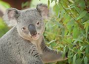 Queensland Koala, Phascolarctos cinereus adustus