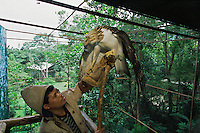 At the Philippine Eagle Captive Breeding Program keeper Eddie Juntilla trains a male eagle to deliver sperm samples..Mindanao Island, Philippines.  Nov 01.