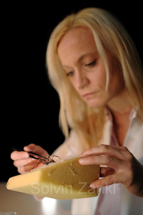 Professor Dr. Christine Radtke carefully fixes a Golden Silk Orbweaver (Nephila clavipes) to a soft pad to obtain spider silk. | Behutsam fixiert Professorin Dr. Christine Radtke eine Goldene Radnetzspinne (Nephila clavipes), um die Spinnenseide zu gewinnen.