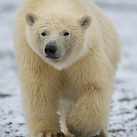 Curious polar bear cub-of-the-year on  a beach in the Beaufort Sea near Kaktovik Alaska coming over to check me out.