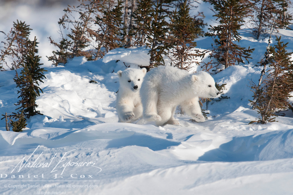 Polar Bear (Ursus maritimus) cubs of the western Hudson Bay population recently out of the den. Manitoba, Canada