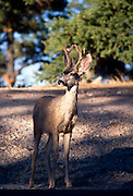 Mule deer (Odocoileus hemionus columbianus) So. Rim, Grand Canyon National Park, Arizona..Subject photograph(s) are copyright Edward McCain. All rights are reserved except those specifically granted by Edward McCain in writing prior to publication...McCain Photography.211 S 4th Avenue.Tucson, AZ 85701-2103.(520) 623-1998.mobile: (520) 990-0999.fax: (520) 623-1190.http://www.mccainphoto.com.edward@mccainphoto.com.