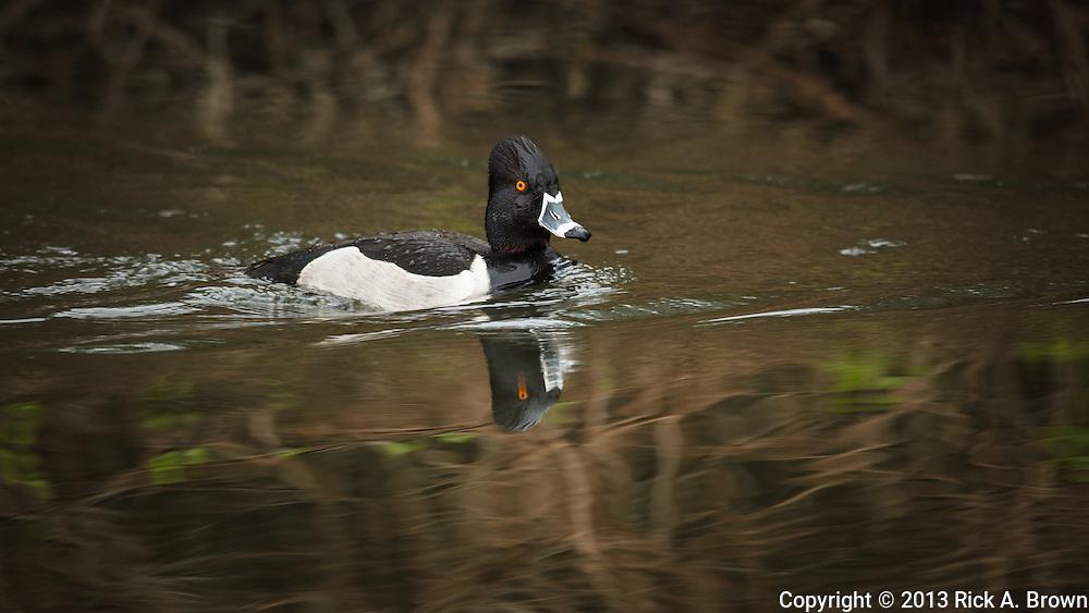 USA, Washington, Ridgefield, Ridgefield National Wildlife Refuge, Ring-necked Duck (Aythya collaris) drake