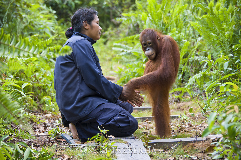 Bornean Orangutan<br /> Pongo pygmaeus<br /> Caretaker with juvenile (approx. 5 years old) in forest during forest exploration and training program<br /> Orangutan Care Center, Borneo, Indonesia<br /> *No model release available - for editorial use only