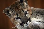 Frisky young cougar