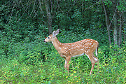 Whitetailed deer, doe and fawn